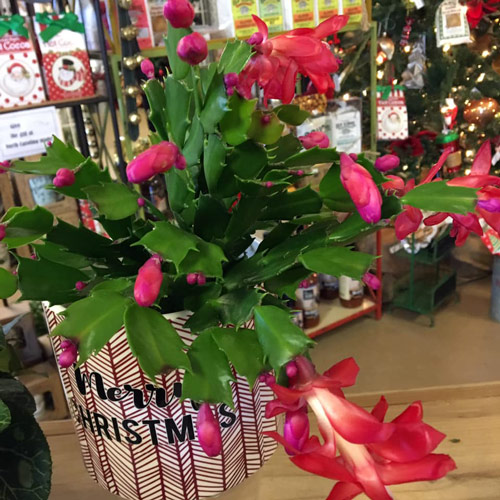 Christmas cactus blooming