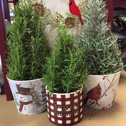 Christmas herbs in cute gift pots