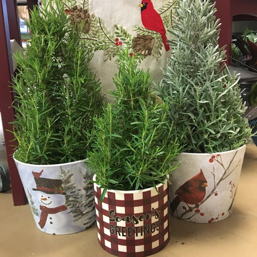 cute Christmas tree shaped herbs in gift pots