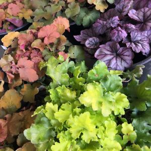 heuchera plants in coral, purple and lime green