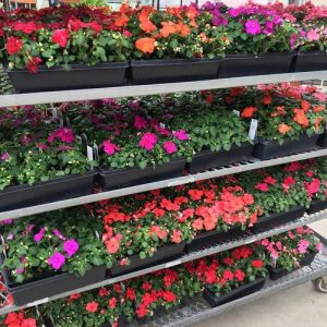 colorful flowering annual bedding plants