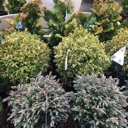 conifers shrubs