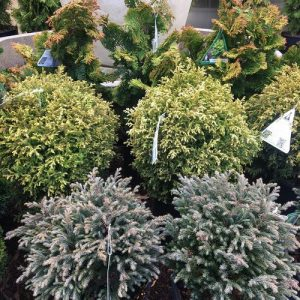 confiers shrubs