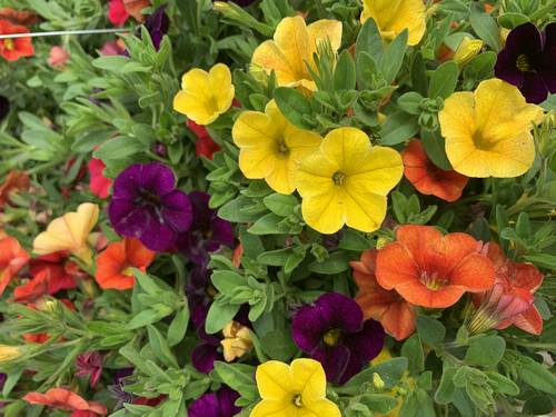 colorful annual flowering plants