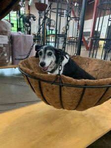 Bayleaf dog in a hanging basket