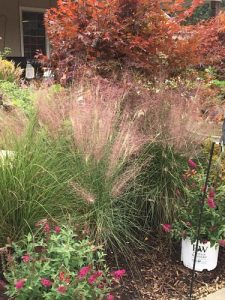 fall grasses and japanese maple tree