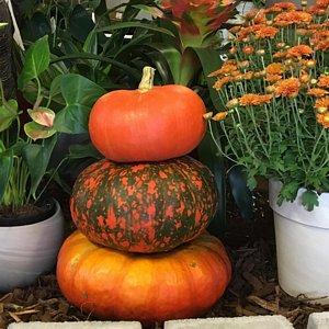 pumpkins mums and fall decor