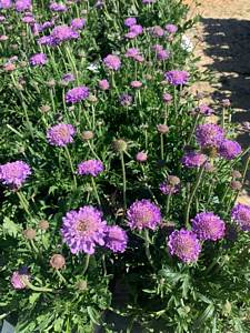 scabiousa is a perennial and the pollinators love the blooms